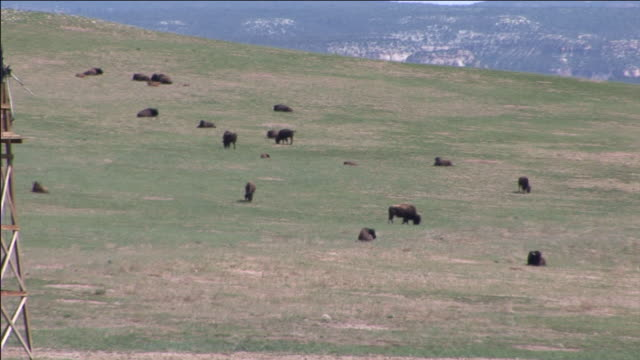 cattle graze on a wide, grassy prairie. - 牧畜場点の映像素材/bロール