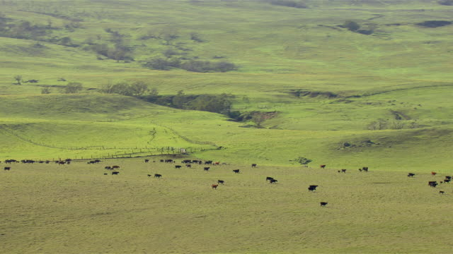 Cattle graze within an idyllic green landscape on the Big Island of Hawaii.