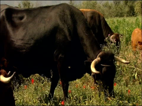 cattle grazing, alcaucin, malaga, andalusia, southern spain. retinta cattle: they are an endemic spanish breed used for the last 2000 years or more and found through the southern provinces of extremadura and andalucia. - herbivorous stock videos & royalty-free footage