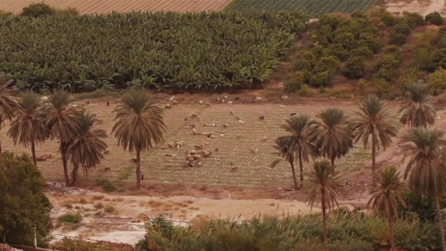 cattle grazing among palm trees in jericho - spoonfilm stock-videos und b-roll-filmmaterial