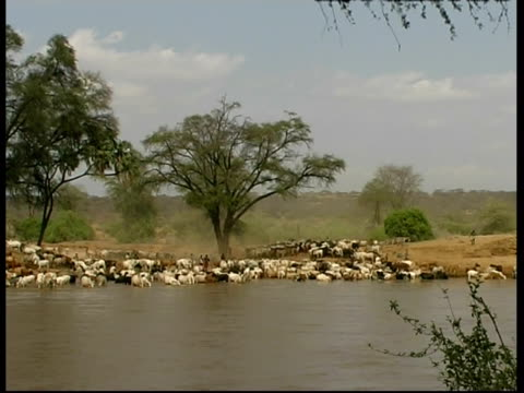 cattle grazing and drinking from river, wa, kenya - bovino video stock e b–roll