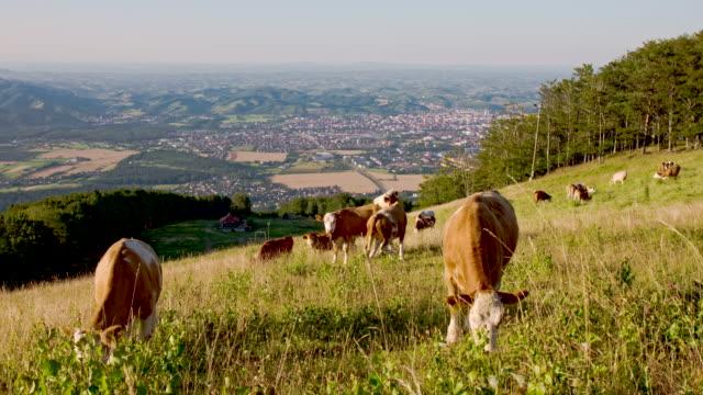 ws ds bestiame al pascolo in pascolo e di accoppiamento - vacca video stock e b–roll
