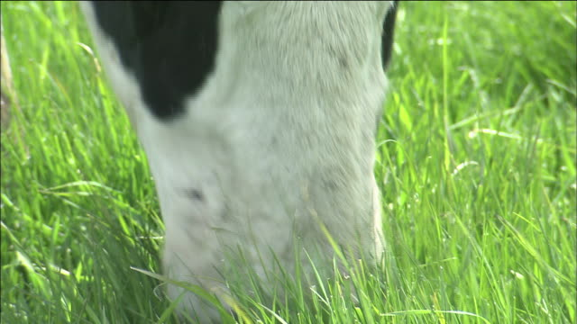 Cattle grazing: Close shot