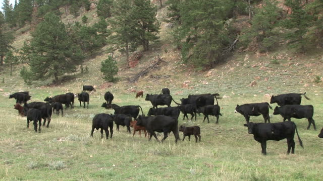 cattle grazing in custer state park of south dakota united states - custer staatspark stock-videos und b-roll-filmmaterial