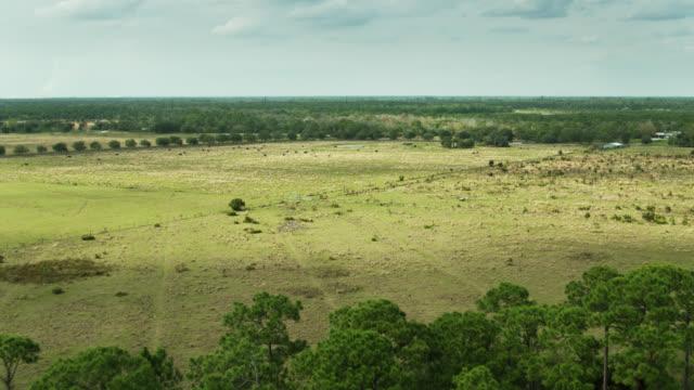 オレンジグローブのそばの畑で牛の放牧 - ドローンショット - オレンジ果樹園点の映像素材/bロール