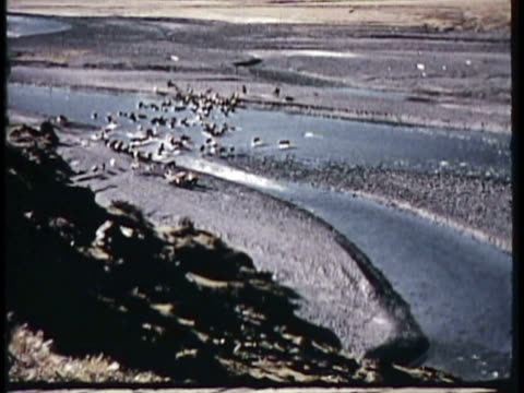 1955 montage ws ha la ms cu cattle grazing in field, shepherds with cattle herd in remote terrain, sheep herd grazing by picturesque lake with mountain in background / new zealand / audio - pastore mandriano video stock e b–roll
