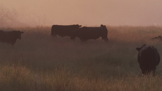 MS Cattle grazing in fog at sunrise