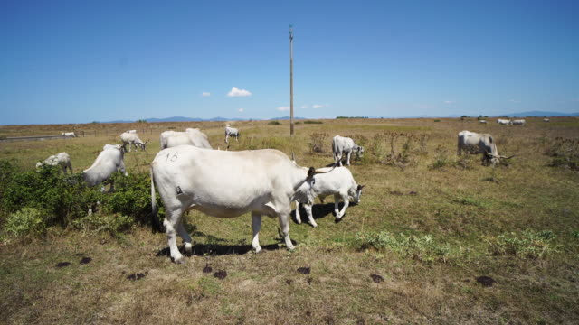 cattle grazing in italy: cows in a filed in the maremma plan - dry stock videos & royalty-free footage