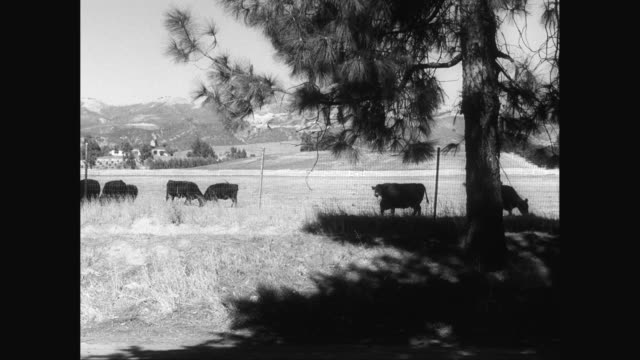 ws cattle grazing in landscape area / united states - mittelgroße tiergruppe stock-videos und b-roll-filmmaterial