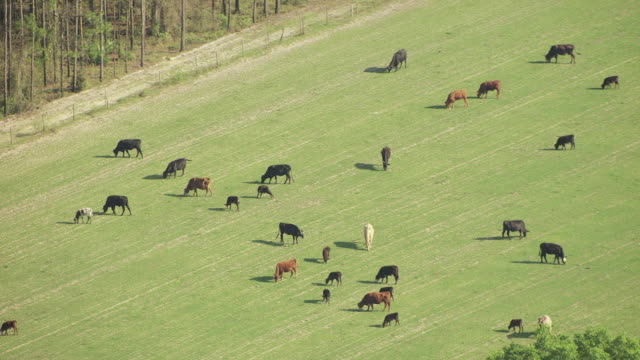 MS AERIAL cattle grazing in open field with trees in Lafayette County / Florida, United States