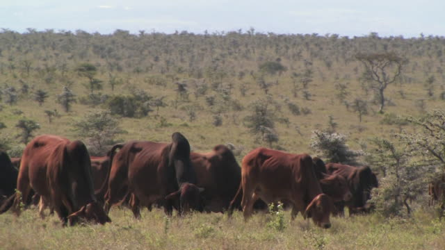 ms, cattle grazing in savanna, laikipia, kenya - bovino video stock e b–roll