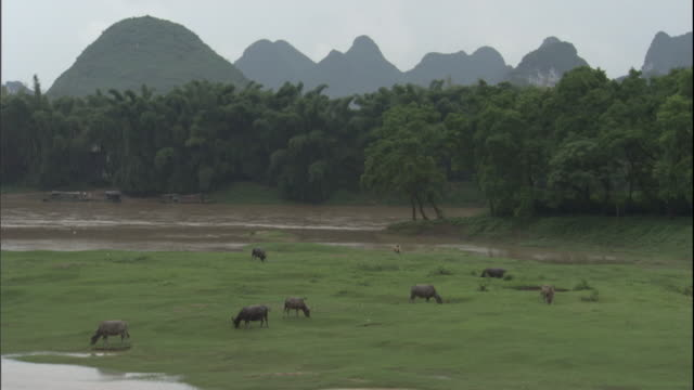 HA WS Cattle grazing near riverbed/ Inner Mongolia, China