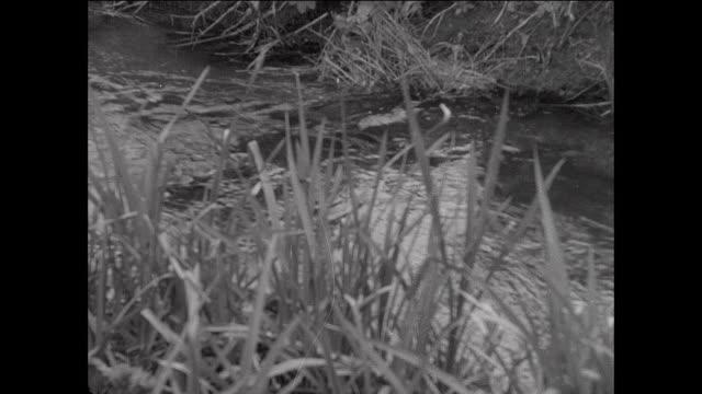 vídeos y material grabado en eventos de stock de montage cattle grazing near stream / aberystwyth, wales - aberystwyth