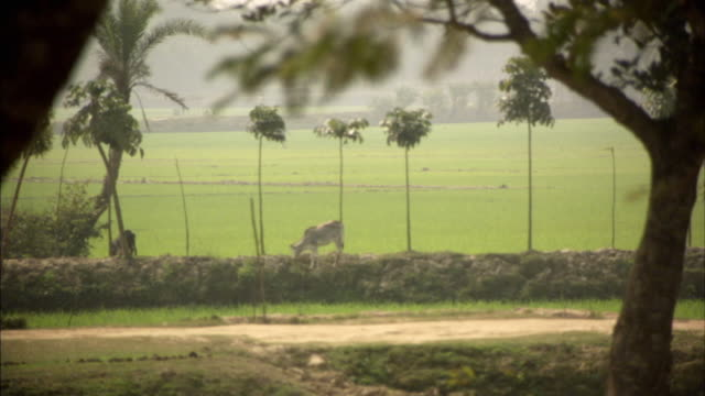 WS, Cattle grazing on edge of field, Mawna, Bangladesh