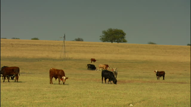 cattle grazing on expansive green/brown pasture, scattered trees bg. livestock, cows, bovine, bulls, steer, domesticated, working animal, farm, rural. - working animal stock videos & royalty-free footage