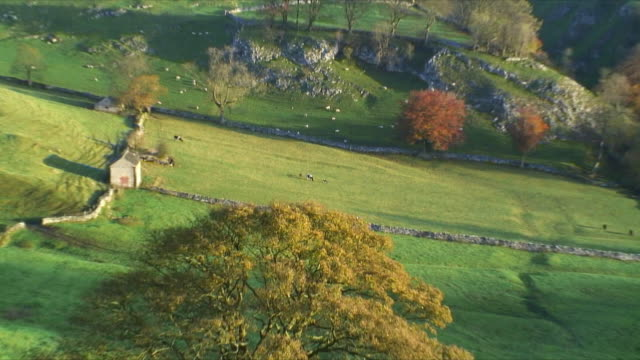 HA WS ZO Cattle grazing on paddocks, Peak District nr Buxton Derbyshire England