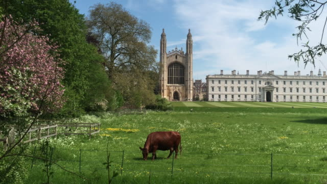 vídeos de stock, filmes e b-roll de cattle grazing on the backs - king's college cambridge