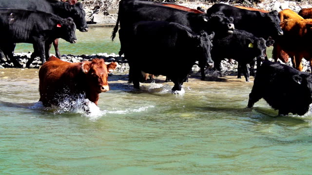 cattle herd crossing river in slow motion - cattle stock videos & royalty-free footage
