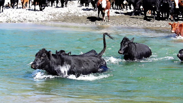 cattle herd crossing river in slow motion - cattle drive stock videos & royalty-free footage