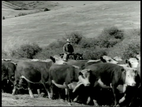cattle herd moving , rancher on horseback walking bg. xws side of mountain w/ grazing sheep, single male on horseback walking through herd . - recreational horseback riding stock videos & royalty-free footage