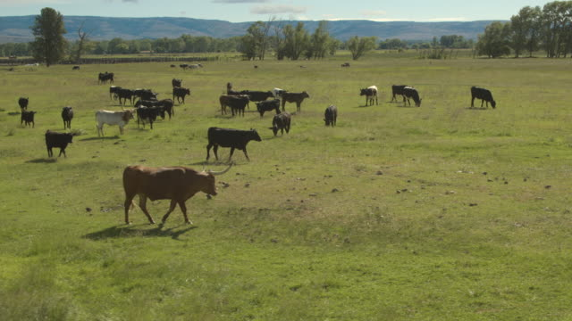 Cattle herd on a meadow