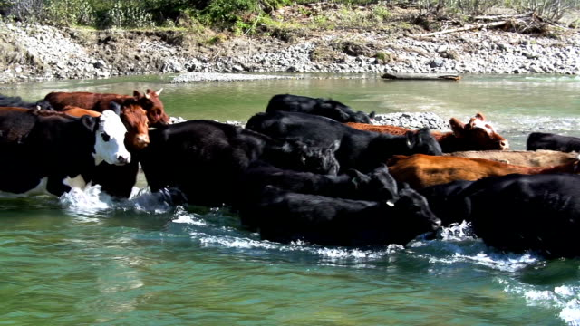 cattle herd quickly crossing river - cattle drive stock videos & royalty-free footage