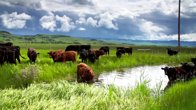 cattle herd under a stormy sky gathering at a waterhole - alberta stock videos & royalty-free footage