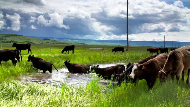 cattle herd under a stormy sky gathering at a waterhole - cattle stock videos & royalty-free footage