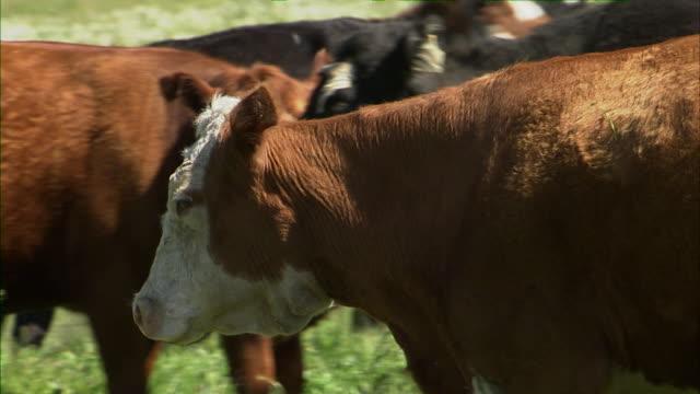 Cattle herding long shot.