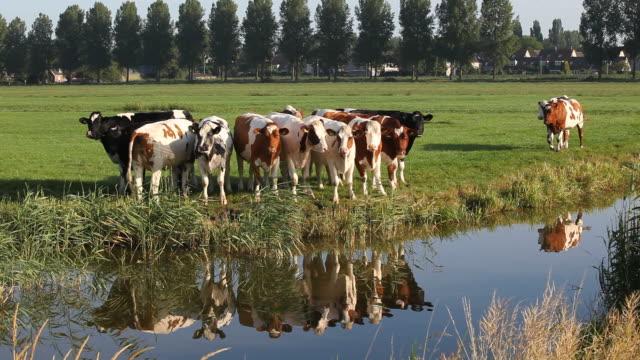 vidéos et rushes de bétail dans la suite prairie près d'amsterdam, pays-bas - canal eau vive