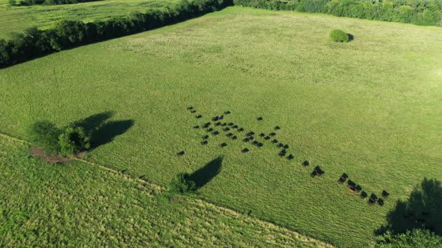 cattle in field - missouri stock videos & royalty-free footage