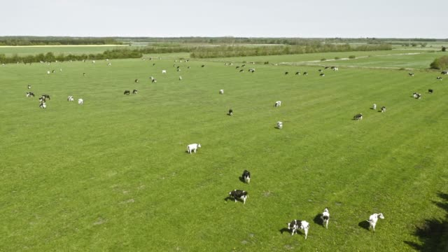 AERIAL Cattle in green and sunny pasture