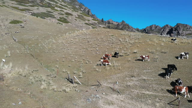 cattle in mountain / xinjiang uyghur autonomous region, china - herbivorous stock videos & royalty-free footage