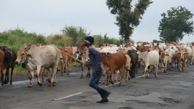 cattle in rural india. - shepherd stock videos & royalty-free footage