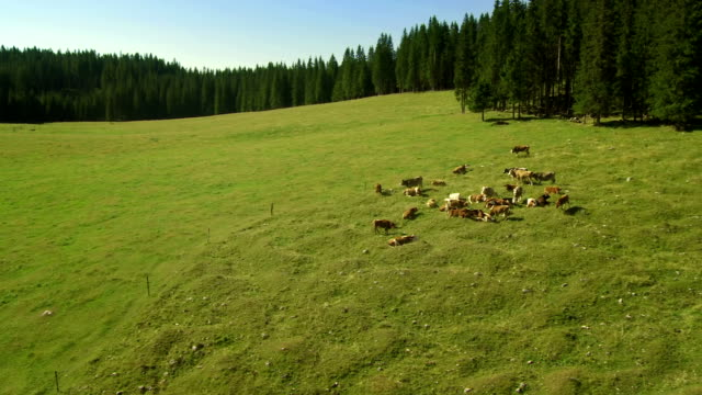 hd: cattle in the alpine national park - pokljuka stock videos and b-roll footage