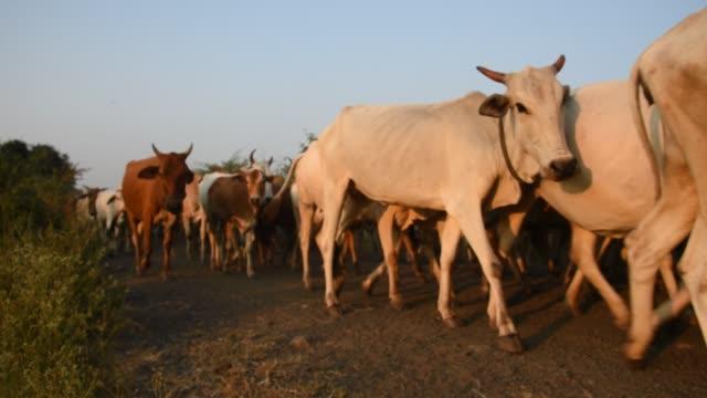 cattle in the field, maharashtra, india. - 牧夫点の映像素材/bロール