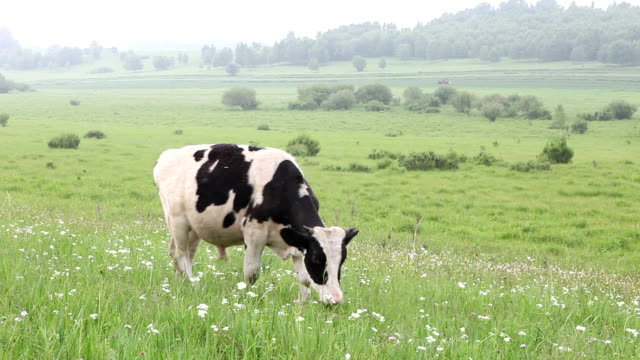 cattle in the meadow eating grass - domestic cattle stock videos & royalty-free footage