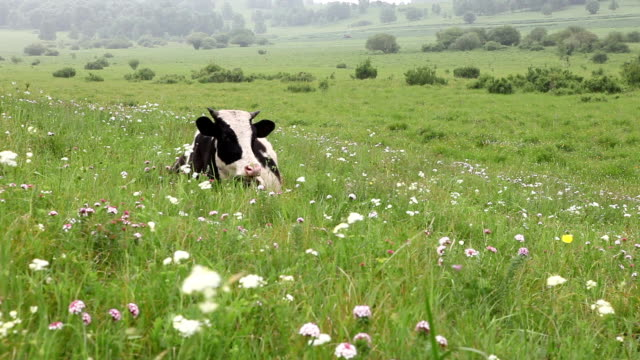 cattle in the meadow resting - grazing stock videos & royalty-free footage