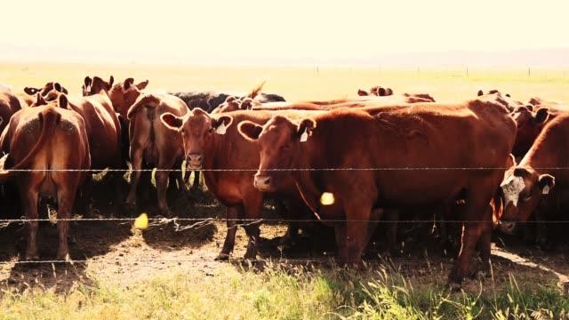 vídeos de stock, filmes e b-roll de gado na natureza - ranch