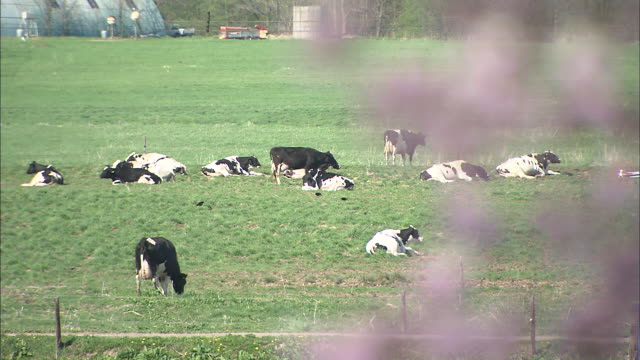 cattle lie in grassy field, pull focus to cherry blossom in foreground, japan - 乳製品工場点の映像素材/bロール