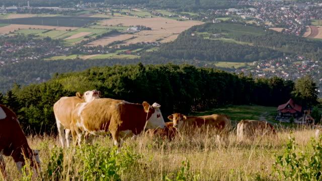 ls bestiame al pascolo di accoppiamento - vacca video stock e b–roll
