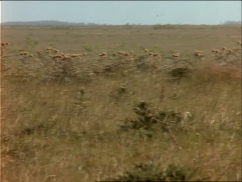 cattle move across the pampas. - hooved animal stock videos & royalty-free footage
