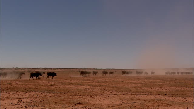 a cattle muster kicks up dust near anna creek in australia. - dry stock videos & royalty-free footage
