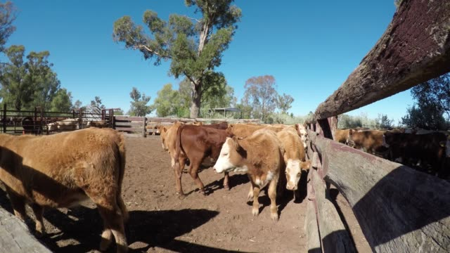 cattle muster of grass fed beef cattle, calves in the yard - grass fed stock videos & royalty-free footage