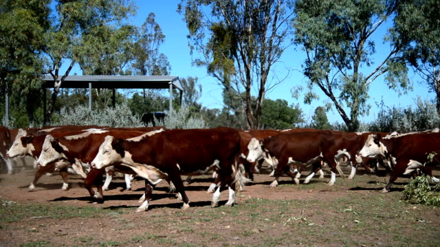 cattle muster of grass fed beef cattle heifers - beef cattle stock videos & royalty-free footage