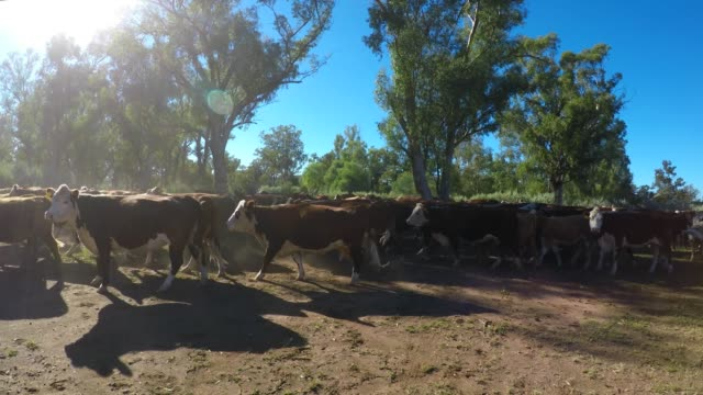 Cattle muster of grass fed beef cattle, moving into the yard