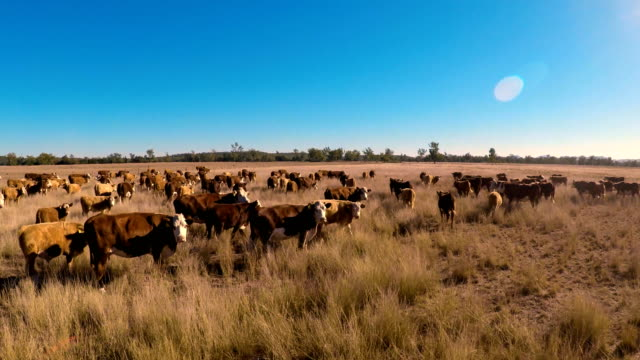cattle muster of grass fed beef cattle - bovino video stock e b–roll