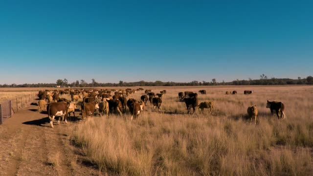 cattle muster of grass fed beef cattle - grass fed stock videos & royalty-free footage