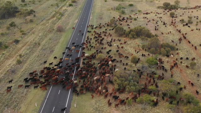 cattle muster - cattle stock videos & royalty-free footage