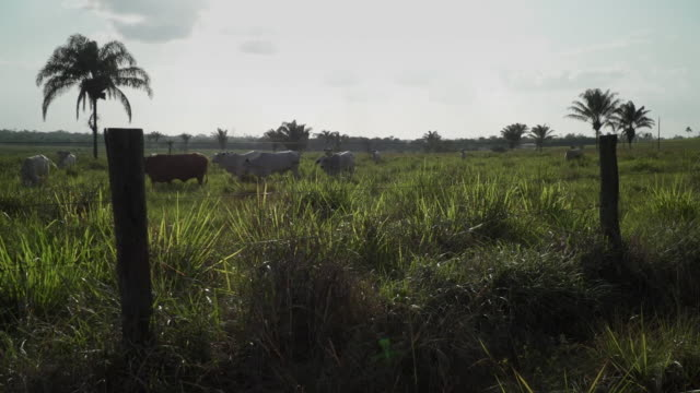 cattle on a farm in the amazon rainforest - cattle stock videos & royalty-free footage